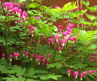 Bleeding Heart Plant Animal Adaptations